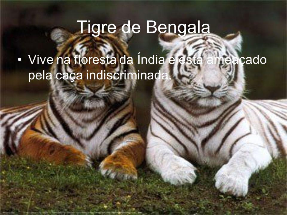 Tigre de Bengala Vive na floresta da Índia e está ameaçado pela caça indiscriminada.