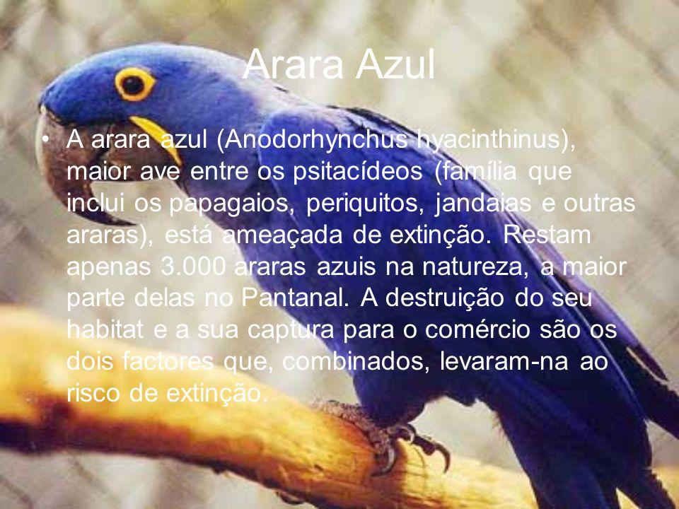 Arara Azul A arara azul (Anodorhynchus hyacinthinus), maior ave entre os psitacídeos (família que inclui os papagaios, periquitos, jandaias e outras a