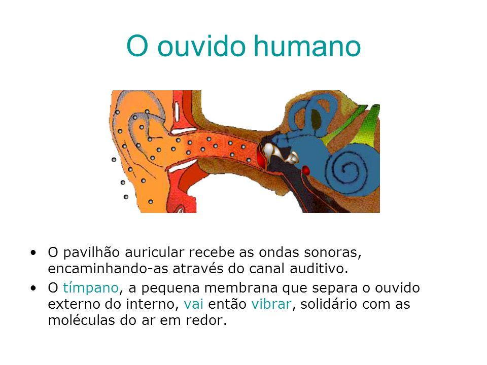 O ouvido humano O pavilhão auricular recebe as ondas sonoras, encaminhando-as através do canal auditivo. O tímpano, a pequena membrana que separa o ou