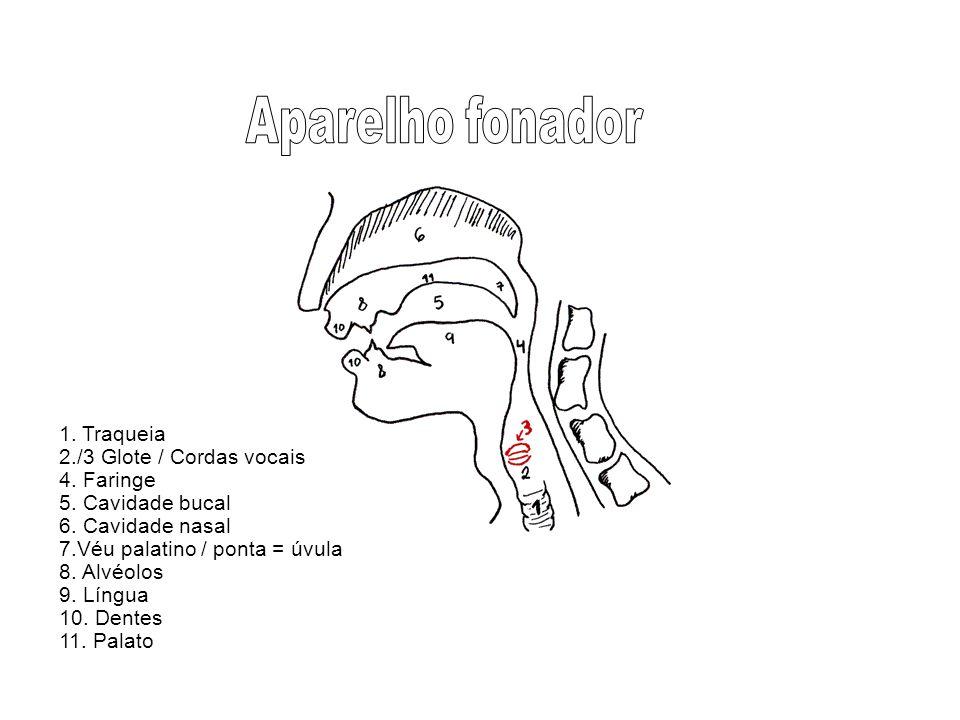 1. Traqueia 2./3 Glote / Cordas vocais 4. Faringe 5. Cavidade bucal 6. Cavidade nasal 7.Véu palatino / ponta = úvula 8. Alvéolos 9. Língua 10. Dentes
