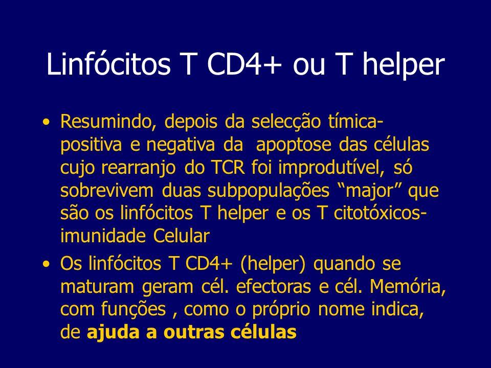 Linfócitos T CD4+ ou T helper Resumindo, depois da selecção tímica- positiva e negativa da apoptose das células cujo rearranjo do TCR foi improdutível