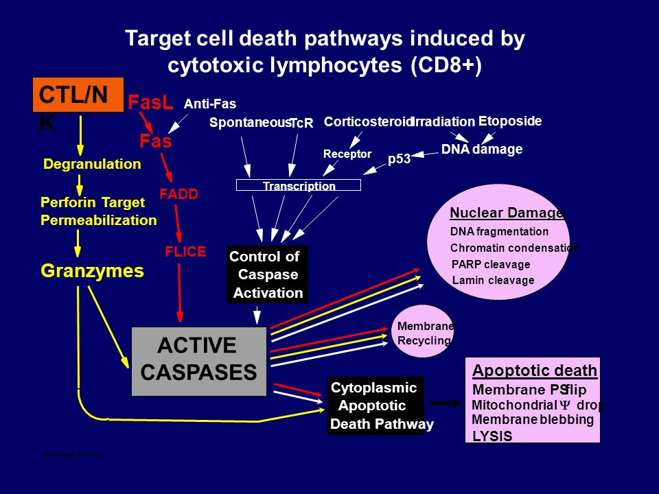 ACTIVE CASPASES Nuclear Damage DNA fragmentation Chromatin condensation PARP cleavage Lamin cleavage Apoptotic death Membrane PSflip Mitochondrial dro