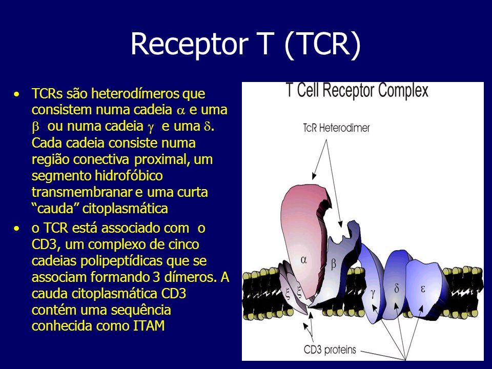Receptor T (TCR) TCRs são heterodímeros que consistem numa cadeia e uma ou numa cadeia e uma. Cada cadeia consiste numa região conectiva proximal, um