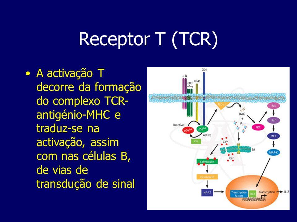 Receptor T (TCR) A activação T decorre da formação do complexo TCR- antigénio-MHC e traduz-se na activação, assim com nas células B, de vias de transd