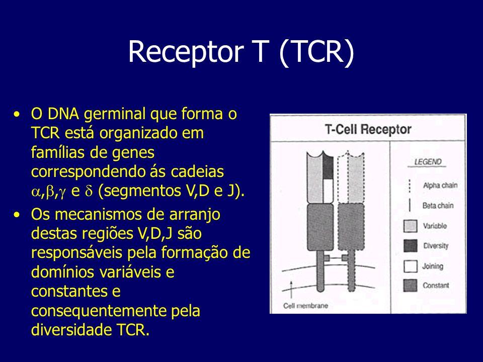 Receptor T (TCR) O DNA germinal que forma o TCR está organizado em famílias de genes correspondendo ás cadeias,, e (segmentos V,D e J). Os mecanismos