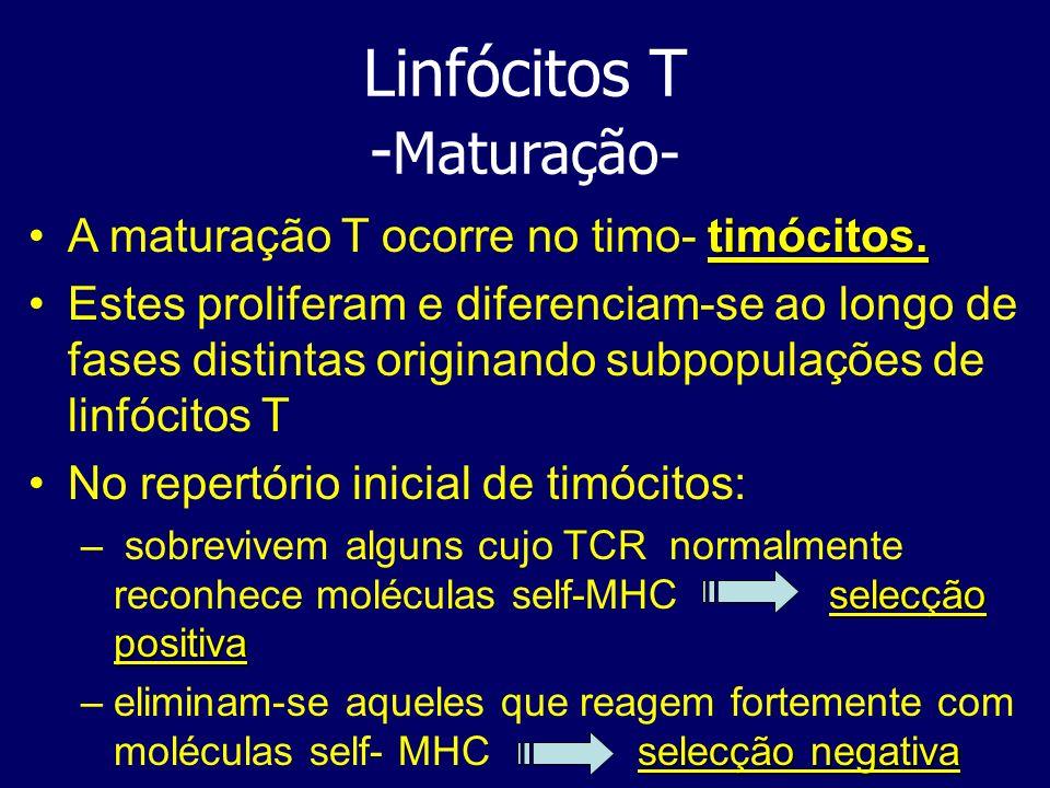Linfócitos T - Maturação- timócitos.A maturação T ocorre no timo- timócitos. Estes proliferam e diferenciam-se ao longo de fases distintas originando
