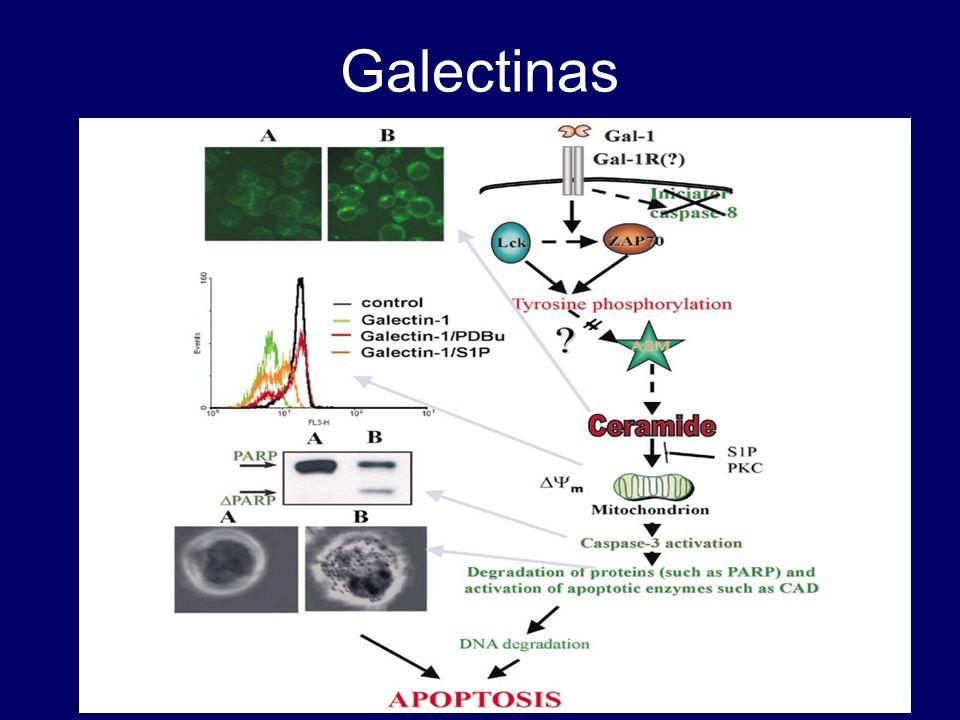 Galectinas