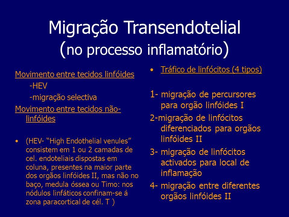 Migração Transendotelial ( no processo inflamatório ) Movimento entre tecidos linfóides -HEV -migração selectiva Movimento entre tecidos não- linfóide
