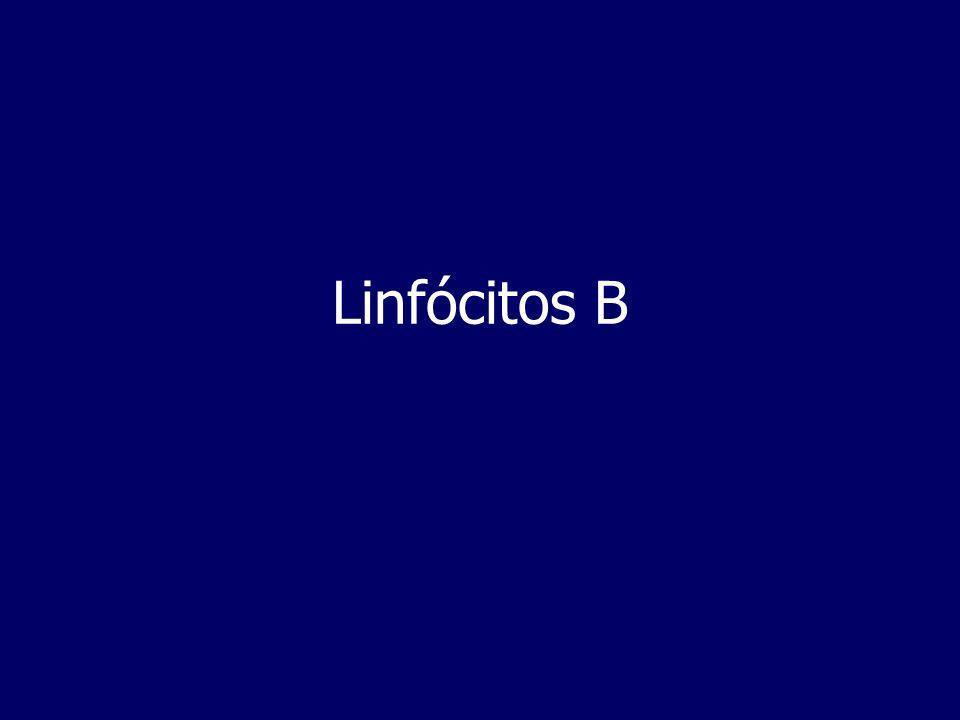 B cells + antigen= effector B cells (plasma cells) + memory cells Linfócitos B na resposta Imune B cells + antigen= effector B cells (plasma cells) + memory cells A activação e diferenciação de linfócitos B pode ocorrer na periferia,quando em contacto com o antigénio, gerando a resposta humoral.