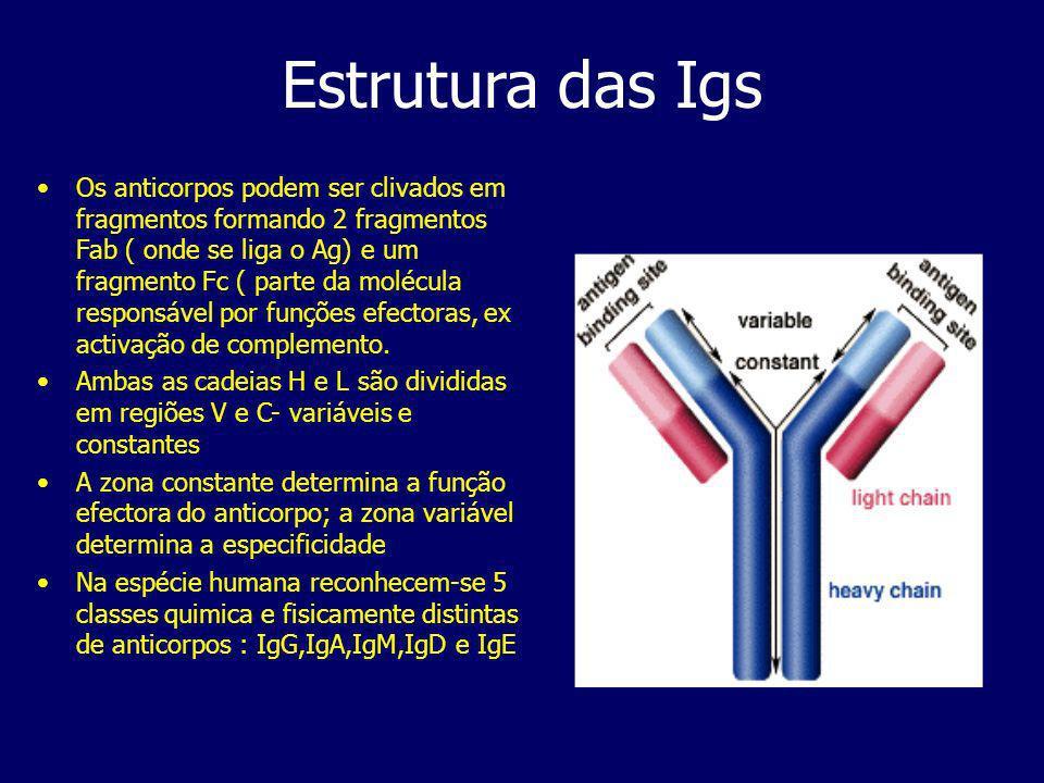 Estrutura das Igs Os anticorpos podem ser clivados em fragmentos formando 2 fragmentos Fab ( onde se liga o Ag) e um fragmento Fc ( parte da molécula responsável por funções efectoras, ex activação de complemento.