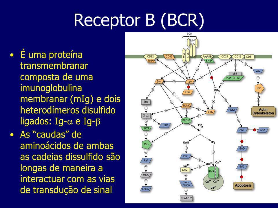 Receptor B (BCR) É uma proteína transmembranar composta de uma imunoglobulina membranar (mIg) e dois heterodímeros disulfido ligados: Ig- e Ig- As caudas de aminoácidos de ambas as cadeias dissulfido são longas de maneira a interactuar com as vias de transdução de sinal
