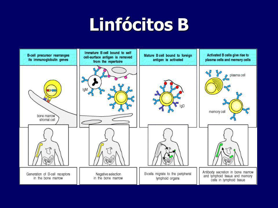 Linfócitos B na resposta Imune Opsonização e Activação de Complemento Transcitose Papel contra patogéneos extracelulares- opsonização (facilita fagocitose) e complemento ( activação e fagocitose) Transcitose ( movimentação através de superfícies mucosas e epiteliais)
