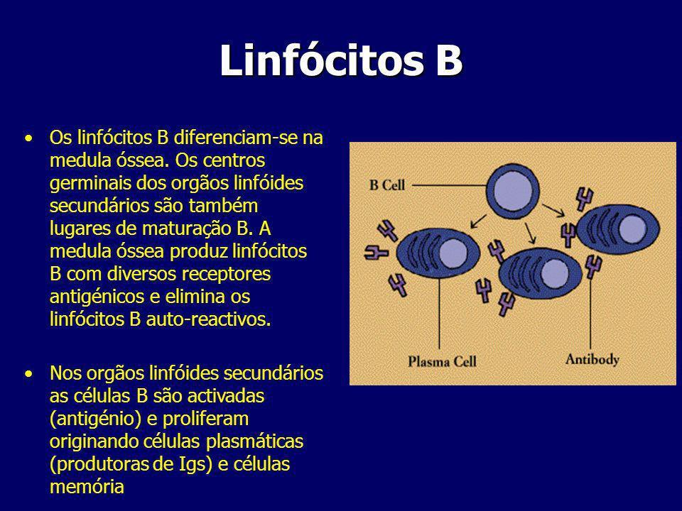 Os linfócitos B diferenciam-se na medula óssea.