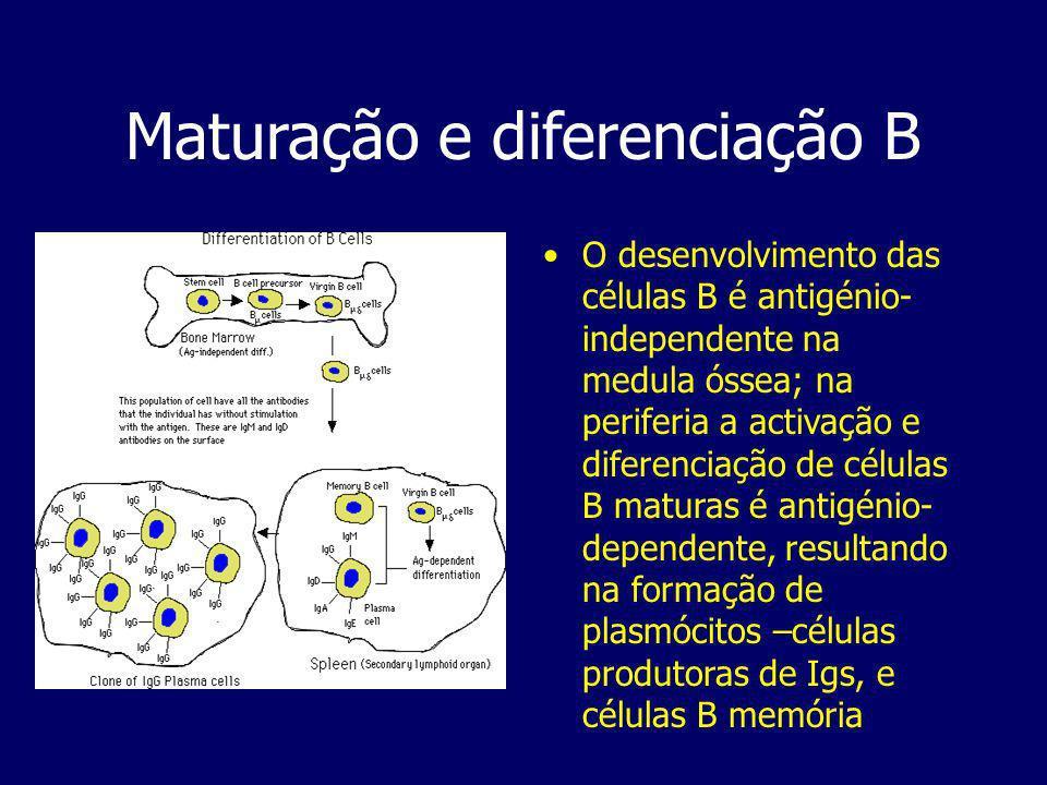 Maturação e diferenciação B O desenvolvimento das células B é antigénio- independente na medula óssea; na periferia a activação e diferenciação de células B maturas é antigénio- dependente, resultando na formação de plasmócitos –células produtoras de Igs, e células B memória