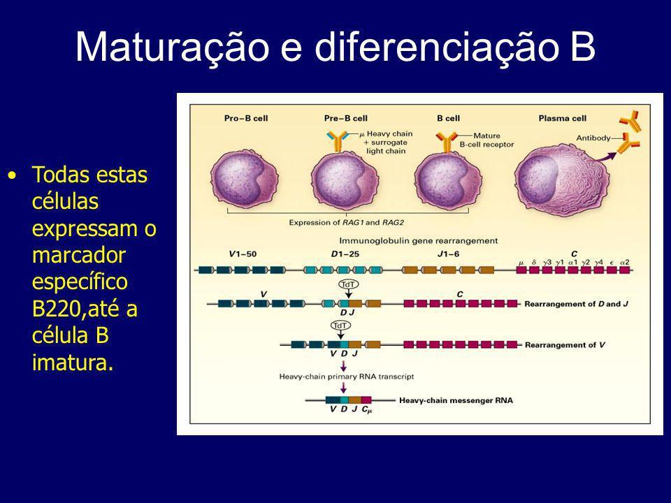 Linfócitos B na resposta imune Uma a duas semanas após exposição ao Ag, a resposta secundária é caracterizada pela sua maior magnitude e pela secreção de Igs de outro isotipo que não IgM.
