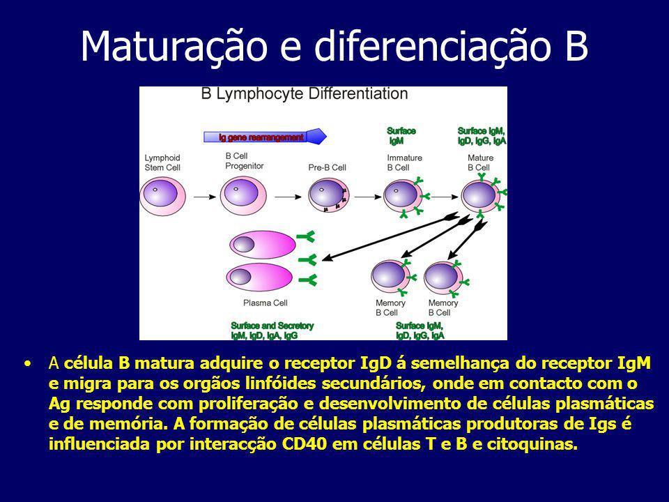 Maturação e diferenciação B A célula B matura adquire o receptor IgD á semelhança do receptor IgM e migra para os orgãos linfóides secundários, onde em contacto com o Ag responde com proliferação e desenvolvimento de células plasmáticas e de memória.