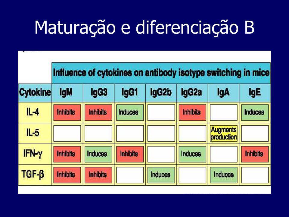 EstágiosEstágios: 1-Maturação 2-Activação 3-Diferenciação