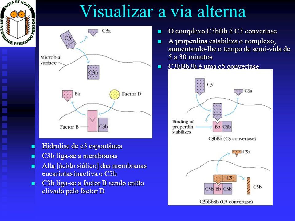 Visualizar a via alterna Hidrolise de c3 espontânea Hidrolise de c3 espontânea C3b liga-se a membranas C3b liga-se a membranas Alta [ácido siálico] das membranas eucariotas inactiva o C3b Alta [ácido siálico] das membranas eucariotas inactiva o C3b C3b liga-se a factor B sendo então clivado pelo factor D C3b liga-se a factor B sendo então clivado pelo factor D O complexo C3bBb é C3 convertase A properdina estabiliza o complexo, aumentando-lhe o tempo de semi-vida de 5 a 30 minutos C3bBb3b é uma c5 convertase