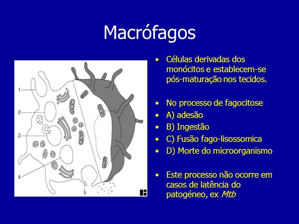 Macrófagos Células derivadas dos monócitos e establecem-se pós-maturação nos tecidos. No processo de fagocitose A) adesão B) Ingestão C) Fusão fago-li