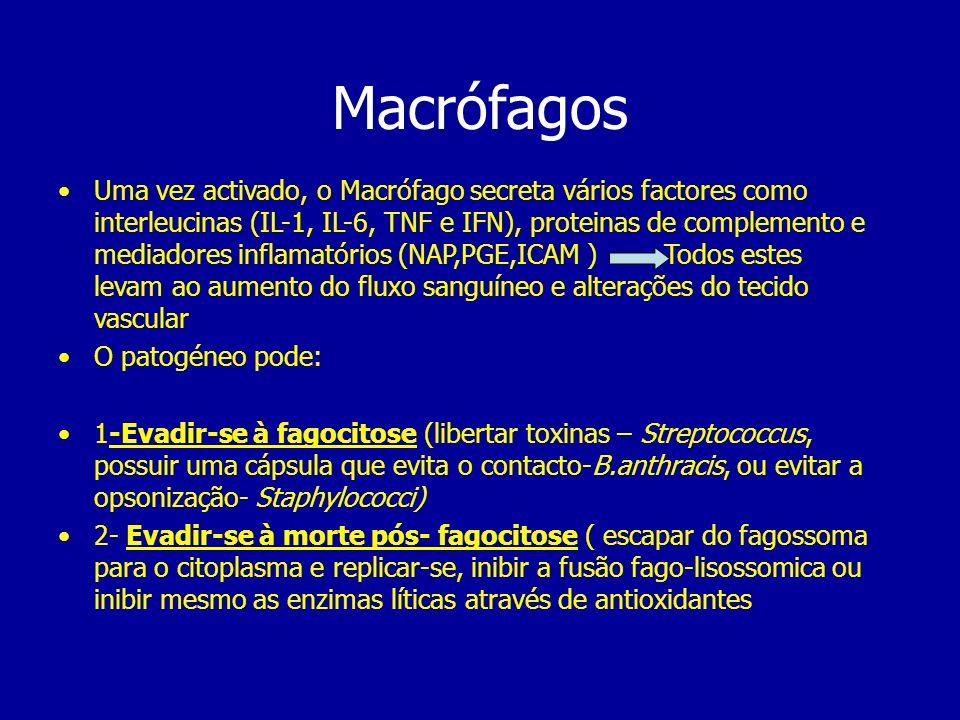 Macrófagos Uma vez activado, o Macrófago secreta vários factores como interleucinas (IL-1, IL-6, TNF e IFN), proteinas de complemento e mediadores inf