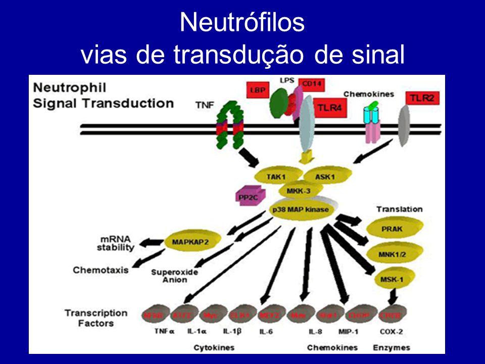 Neutrófilos vias de transdução de sinal