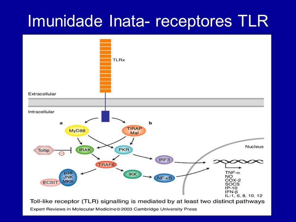 Imunidade Adaptativa Linfócitos T e B As células B reconhecem e ligam- se ao antigénio na sua forma nativa As células T só vêm o antigénio associado a moléculas MHC em células apresentadoras de antigénio (APCs)