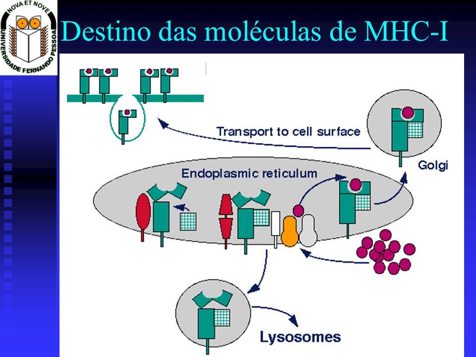 Destino das moléculas de MHC-I