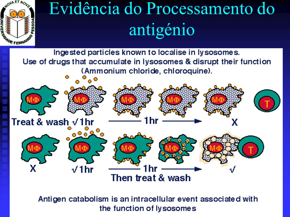 Evidência do Processamento do antigénio