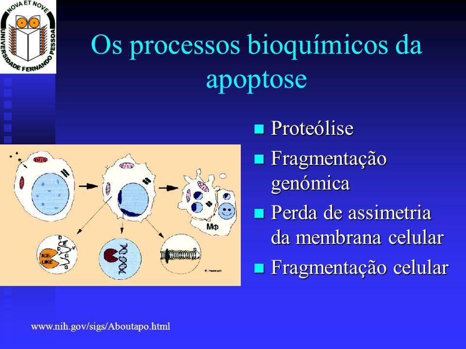 Os processos bioquímicos da apoptose Proteólise Proteólise Fragmentação genómica Fragmentação genómica Perda de assimetria da membrana celular Perda d