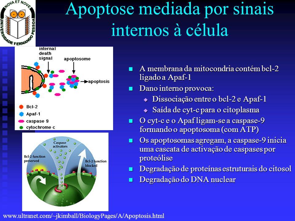 Apoptose mediada por sinais internos à célula A membrana da mitocondria contém bcl-2 ligado a Apaf-1 A membrana da mitocondria contém bcl-2 ligado a A