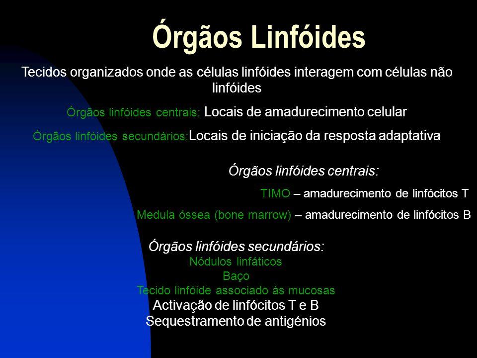 Órgãos linfóides secundários: Nódulos linfáticos Baço Tecido linfóide associado às mucosas Activação de linfócitos T e B Sequestramento de antigénios