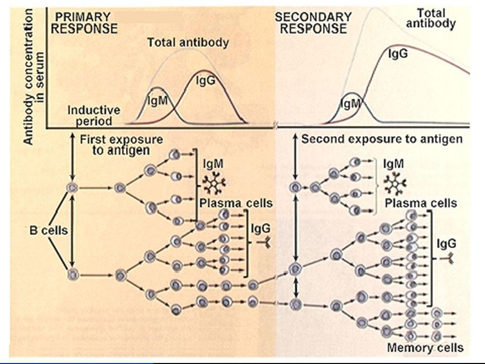 Características da resposta Imunológica (IV) Resposta auto-limitada A resposta pára com a eliminação do agente causador As células imunológicas ficam num estado de alerta/dormente A resposta imunológica tem mecanismos de feedback activo