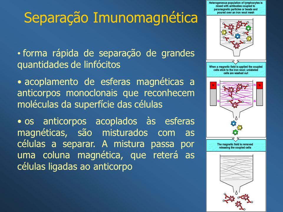 Separação Imunomagnética forma rápida de separação de grandes quantidades de linfócitos acoplamento de esferas magnéticas a anticorpos monoclonais que