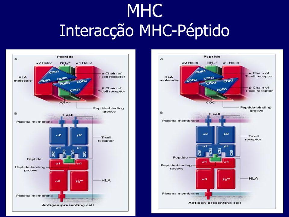 MHC Interacção MHC-Péptido