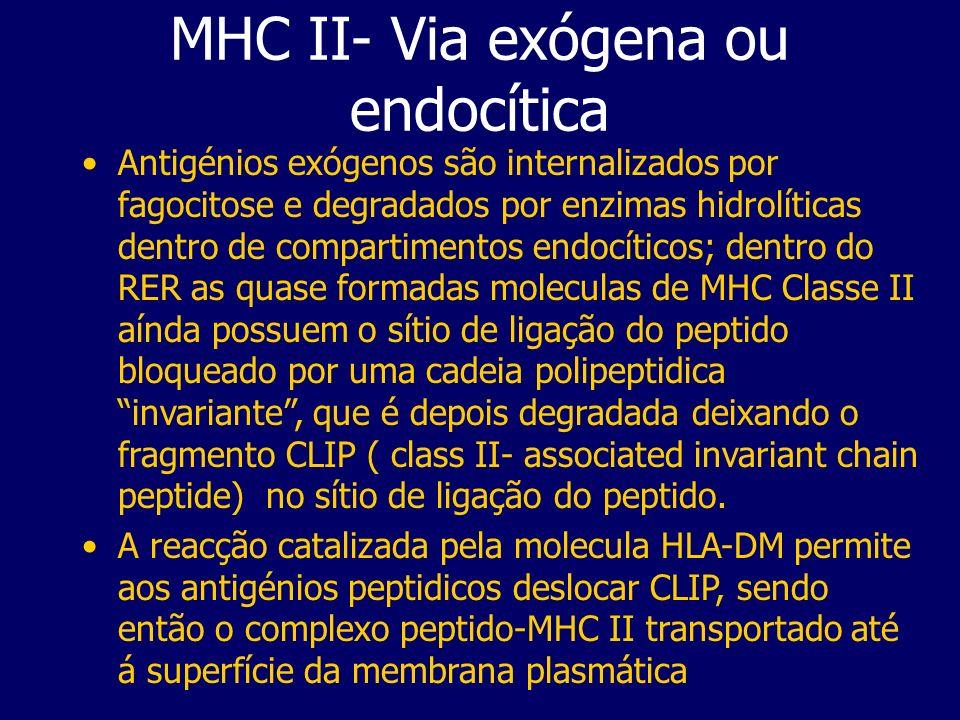 Antigénios exógenos são internalizados por fagocitose e degradados por enzimas hidrolíticas dentro de compartimentos endocíticos; dentro do RER as qua