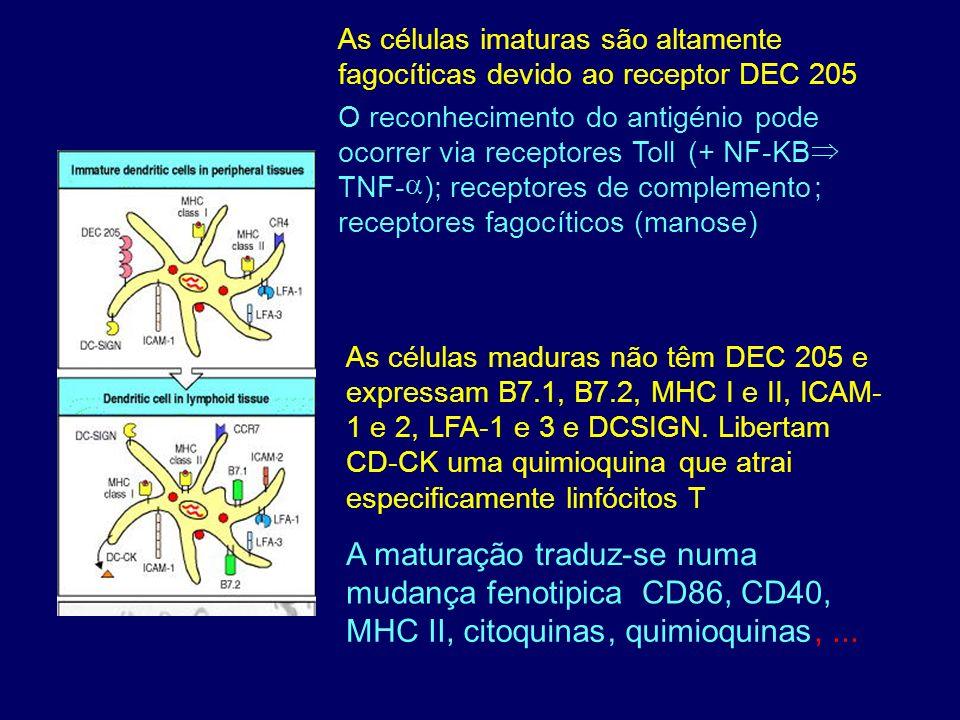 As células imaturas são altamente fagocíticas devido ao receptor DEC 205 O reconhecimento do antigénio pode ocorrer via receptores Toll (+ NF-KB TNF-