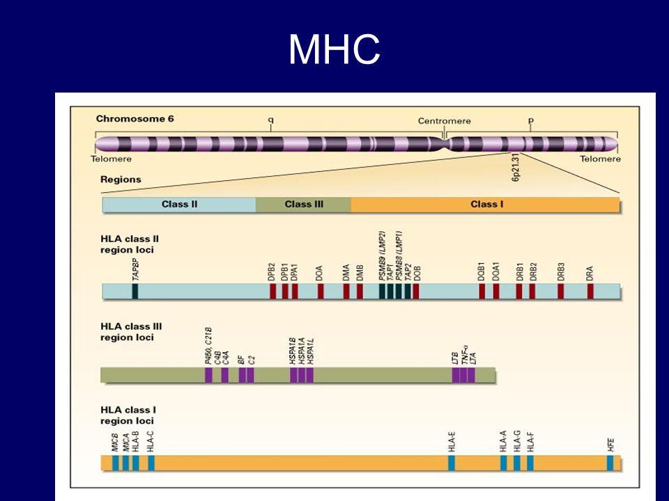 Localização e função do MHC Self versus nonself –tecido transplantado histocompatível ou rejeitado se é estranho Complexo HLA –MHC localizado no homem, no cromossoma 6 e nos ratinhos no cromossoma 17 (H-2) Haplótipos e Polimorfismo –O set de alelos presentes numa dada região genética (haplótipo) –Presença de multiplos alelos num locus genetico dentro da espécie- diversidade MHC (polimorfismo)