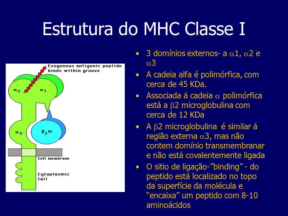 Estrutura do MHC Classe I 3 domínios externos- a 1, 2 e 3 A cadeia alfa é polimórfica, com cerca de 45 KDa. Associada á cadeia polimórfica está a 2 mi