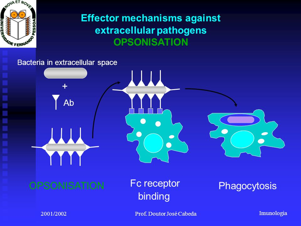 Imunologia 2001/2002Prof. Doutor José Cabeda Effector mechanisms against extracellular pathogens OPSONISATION Phagocytosis Bacteria in extracellular s