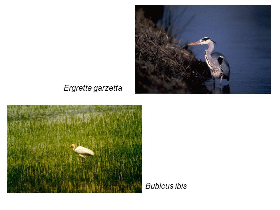 Himantopus himantopus Erithacus rubecula
