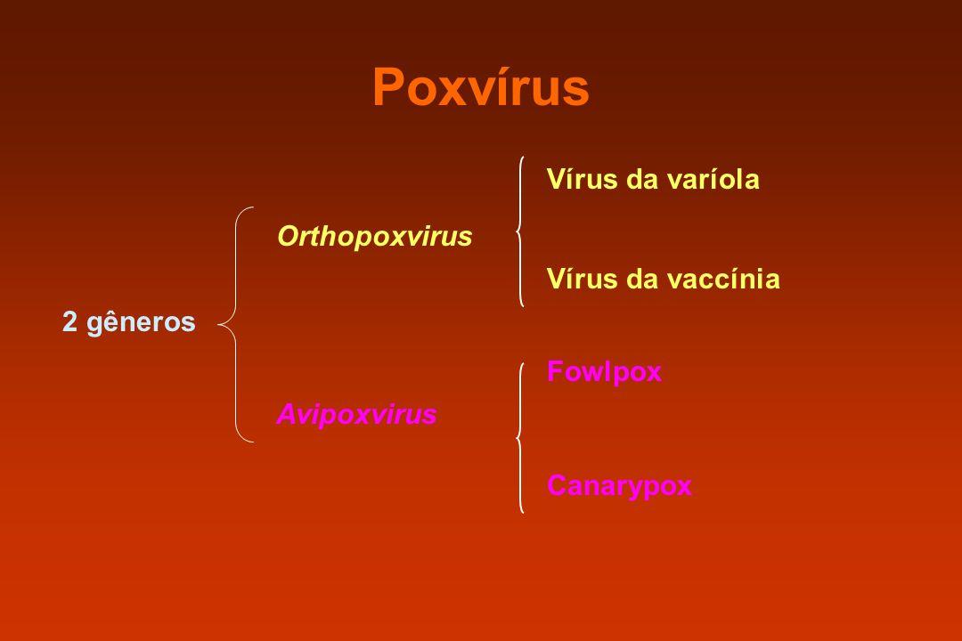 Poxvírus 2 gêneros Orthopoxvirus Avipoxvirus Vírus da varíola Vírus da vaccínia Fowlpox Canarypox