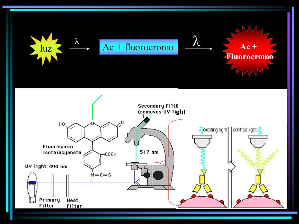 luz Ac + fluorocromo Ac + Fluorocromo r ght