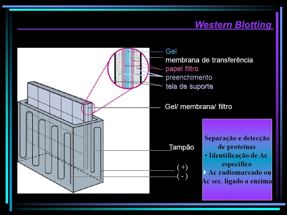 Western Blotting Gel membrana de transferência papel filtro preenchimento tela de suporte Gel/ membrana/ filtro Tampão ( +) ( - ) Separação e detecção