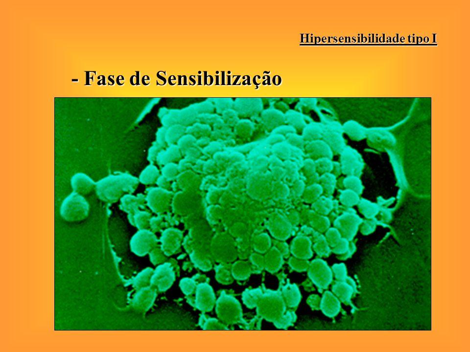 - Fase de Sensibilização Hipersensibilidade tipo I Produção de IgE