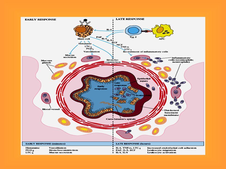 Hipersensibilidade tipo I - Fase Efetora