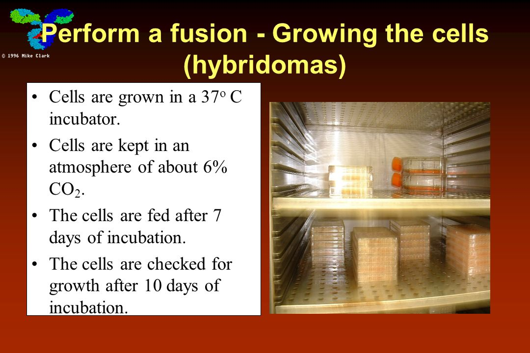 Perform a fusion - Growing the cells (hybridomas) Cells are grown in a 37 o C incubator. Cells are kept in an atmosphere of about 6% CO 2. The cells a