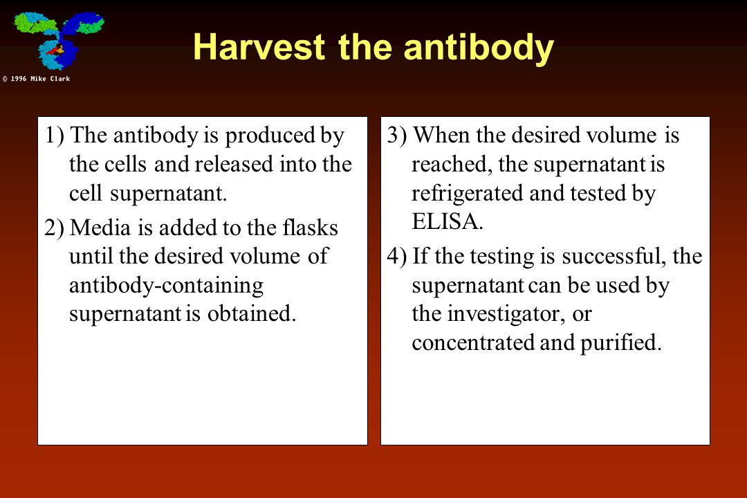 Harvest the antibody 1) The antibody is produced by the cells and released into the cell supernatant. 2) Media is added to the flasks until the desire