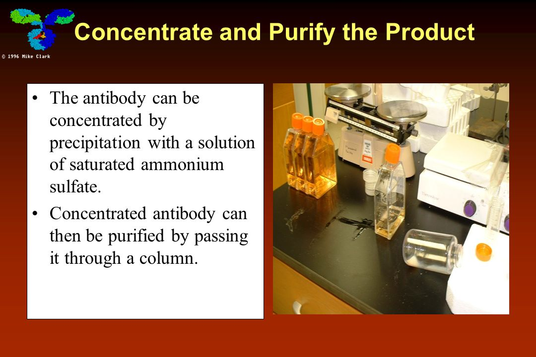 Concentrate and Purify the Product The antibody can be concentrated by precipitation with a solution of saturated ammonium sulfate. Concentrated antib