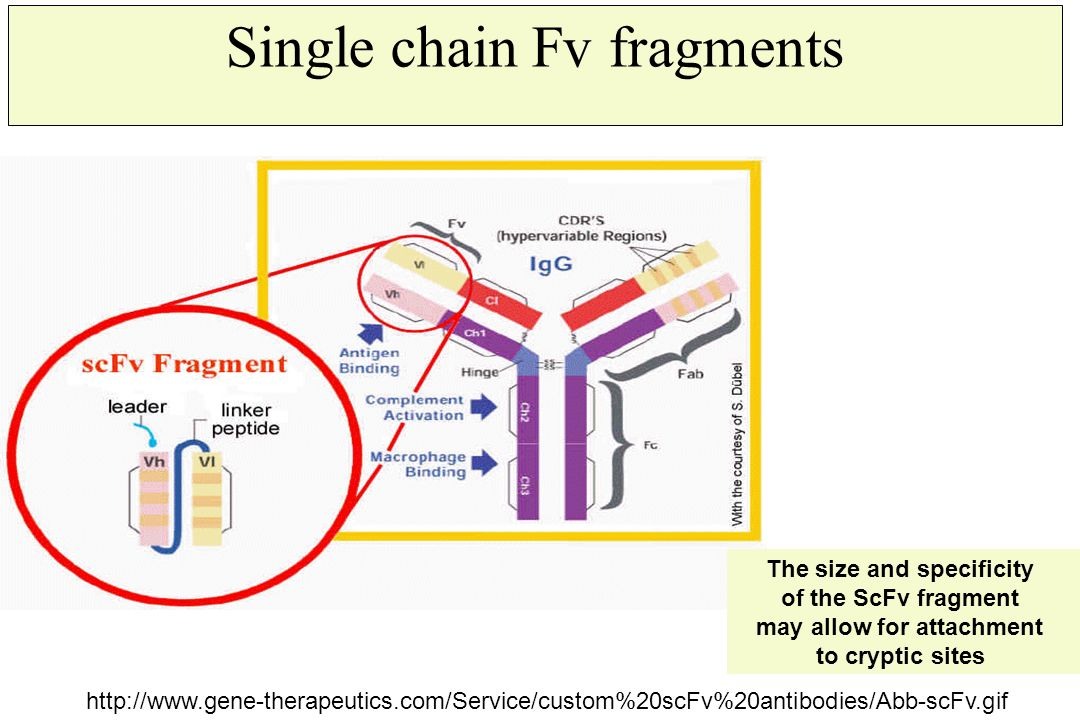 Single chain Fv fragments http://www.gene-therapeutics.com/Service/custom%20scFv%20antibodies/Abb-scFv.gif The size and specificity of the ScFv fragme