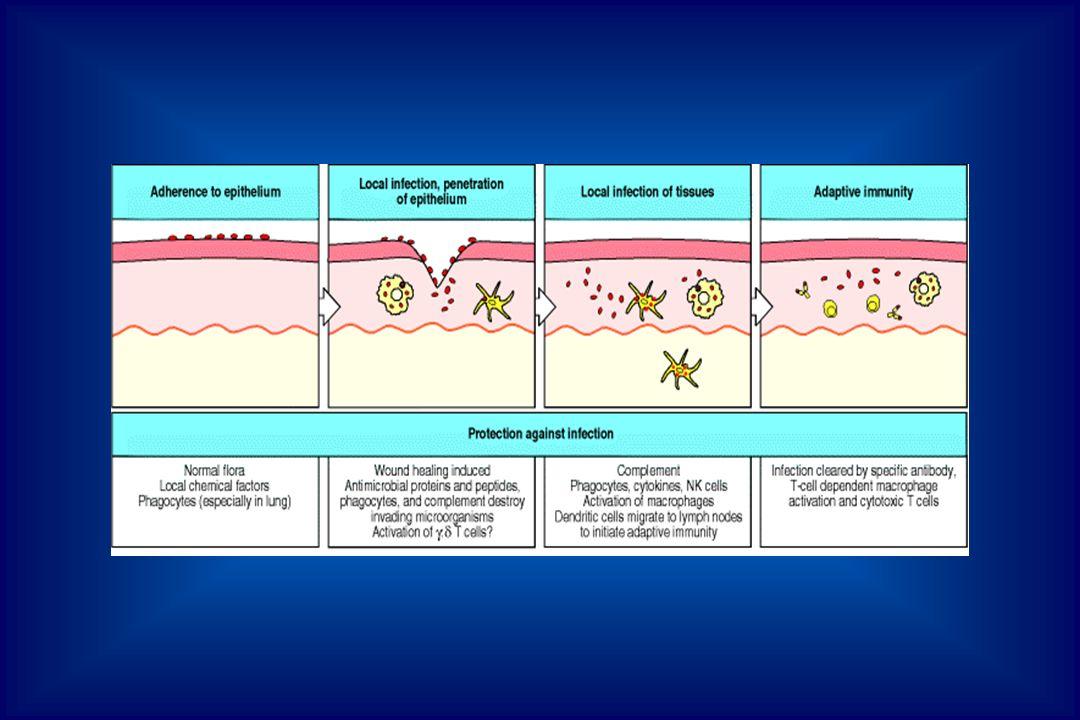 Macrófagos Destruição de patógenos Liberação de citocinas Apresentação de antígeno Imunidade adquirida